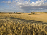 Gield of 6 Row Barley Ripening in the Afternoon Sun, Spokane County, Washington, Usa Photographic Print by Greg Probst