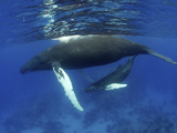 Humpback Whale Mother and Calf, Silver Bank, Domincan Republic Photographic Print by Rebecca Jackrel