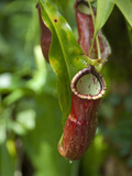 Old World Carnivorous Pitcher Plant, Penang Butterfly Farm, Island of Penang, Malaysia Photographic Print by Cindy Miller Hopkins