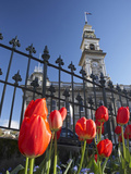 Red Tulips and Municipal Chambers Clock Tower, Octagon, Dunedin, Otago, South Island, New Zealand Photographic Print by David Wall