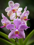 Orchid, Hawaii Photographic Print by Douglas Peebles