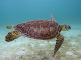 Green Turtle, Sian Ka'An Biosphere Reserve, Quintana Roo, Yucatan Peninsula, Mexico Photographic Print by Pete Oxford