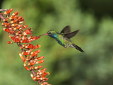 Broad-Billed Hummingbird, Cochise Co, Arizona, Usa Photographic Print by Rebecca Jackrel
