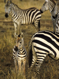 Group of Burchell's Zebra at Waterhole, Masai Mara Conservancy, Kenya Photographic Print by Alison Jones