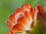Claret Cup Cactus, Texas, Usa Photographic Print by Julie Eggers