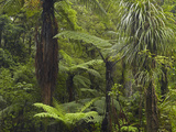 Manginangina Kauri Walk, Puketi Forest, Near Kerikeri, Northland, North Island, New Zealand Photographic Print by David Wall