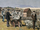 French Chemist and Bacteriologist. Vaccination of Sheep Against Anthrax, Agerville, France, 1884 Fotografisk tryk af Prisma Archivo