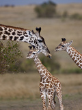 Maasai Giraffe, Masai Mara, Kenya Photographic Print by Joe Restuccia III
