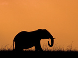 Silhouette of Elephant at Sunset, Masai Mara National Reserve, Kenya Photographic Print by Alison Jones