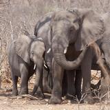 Mother and Baby Elephant Preparing for a Dust Bath, Chobe National Park, Botswana Fotografisk tryk af Wendy Kaveney