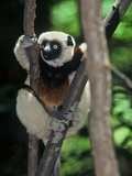 Propithecus Sifaka Lemur, Madagascar Photographic Print by Connie Bransilver