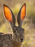 Close-Up of Black-Tailed Jackrabbit, Maverick County, Texas, Usa Photographic Print by Cathy & Gordon Illg