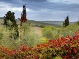 Vineyard Near Montalcino, Tuscany, Italy Photographic Print by Adam Jones