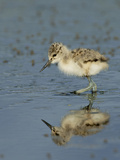 American Avocet Chick, Baylands, Palo Alto, California, Usa Photographic Print by Rebecca Jackrel