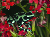 Green and Black Dart Frog, Costa Rica Photographie par Adam Jones