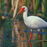 American White Ibis, Florida, Usa Photographic Print by Connie Bransilver