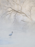 Hooded Crane Walks Through a Cold River under Hoarfrost-Covered Trees, Tsurui, Hokkaido, Japan Photographic Print by Josh Anon