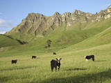 Cows and Farmland Below Te Mata Peak, Hawkes Bay, North Island, New Zealand Photographic Print by David Wall
