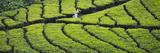 Tea Plantation, Kerala, India Fotodruck von Keren Su