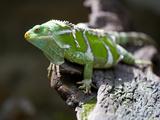 Fiji Crested Iguana, Kula Eco Park, Viti Levu, Fiji Photographic Print by Douglas Peebles