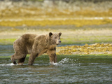 Brown Bear, Katmai National Park, Hallo Bay, Alaska, Usa Photographic Print by Joe McDonald