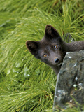Blue Phase Arctic Fox, St Paul, Pribilof Islands, Alaska, Usa Photographic Print by Rebecca Jackrel