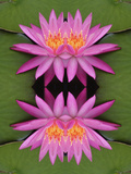 Flipped Pattern, Hybrid Water Lily, Louisville, Kentucky, Usa Photographic Print by Adam Jones
