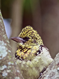 D'Arnaud's Barbet, Tanzania Photographic Print by Connie Bransilver