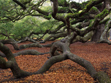Historic Angel Oak Tree, Charleston, South Carolina, Usa Photographic Print by Joanne Wells