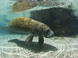 Florida Manatee, Crystal River, Florida, Usa Photographic Print by Rebecca Jackrel
