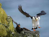 Horned Puffin Lands on a Ledge Displacing a Crested Auklet, St Paul, Pribilof Islands, Alaska, Usa Photographic Print by Rebecca Jackrel