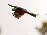 Resplendent Quetzal in Flight, Costa Rica Papier Photo par Cathy & Gordon Illg