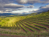 Newton Vineyard, Napa Valley, California, Usa Photographic Print by Janis Miglavs
