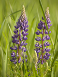 Lupine, Near Silver Bay, Northeastern Minnesota, Usa Photographic Print by Rob Sheppard