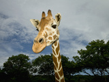 Giraffe, Fossil Rim Wildlife Area, Texas, Usa Photographic Print by Rob Sheppard