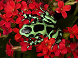 Green and Black Dart Frog, Costa Rica Photographic Print by Adam Jones