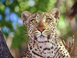 Wild Leopard, Okvango Delta, Botswana Photographic Print by Connie Bransilver