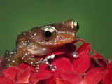 Cinnamon Tree Frog, Borneo Photographic Print by Adam Jones