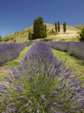 Lavender Farm, Near Cromwell, Central Otago, South Island, New Zealand Photographic Print by David Wall