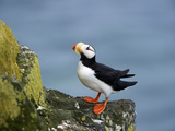 Horned Puffin, St Paul, Pribilof Islands, Alaska, Usa Photographic Print by Rebecca Jackrel