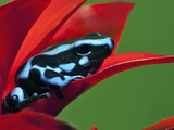 Blue and Black Poison Dart Frog, Panama Blue Photographic Print by Adam Jones