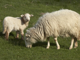 Ewe and Lamb, Wales Photographic Print by David Wall