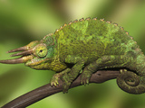 Close-Up of Jackson's Chameleon on Limb, Kenya Photographic Print by Dennis Flaherty
