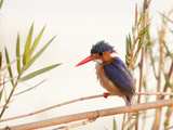 Close-Up of Malachite Kingfisher, Chobe National Park, Botswana Photographic Print by Wendy Kaveney