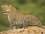 African Leopard, Masai Mara Game Reserve, Kenya Photographic Print by Joe McDonald