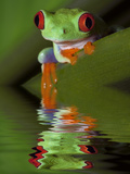 Reflection of Red-Eyed Tree Frog in Water Photographic Print by Dennis Flaherty