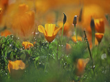 California Poppies, California, Usa Photographic Print by Connie Bransilver
