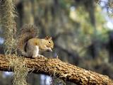 Grey Squirrel Feeding on Oak Branch, Florida, Usa Photographic Print by Maresa Pryor