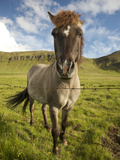 Frontal View of Icelandic Horse Next to Barbed-Wire Fence, Reykjavik, Iceland Photographic Print by Josh Anon