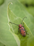 Long-Horned Milkweed Beetle, Jenson Lake Park, Eagan, Minnesota, Usa Photographic Print by Rob Sheppard